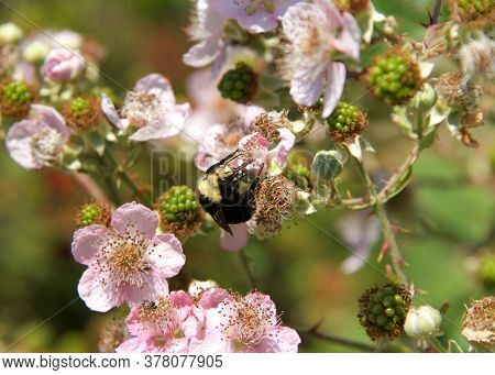 Close Up Of One Bumble Bee On Blackberry Vine Flowers, Collecting Pollen.