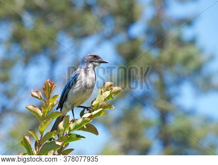 California Scrub Jay Perched In A Tree With Green Trees In Background. The California Scrub Jay Is N