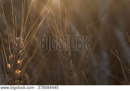Close Up Macrophotography Of A Head Of Golden Wheat Ready For Harvest, Focus On Foreground, During S