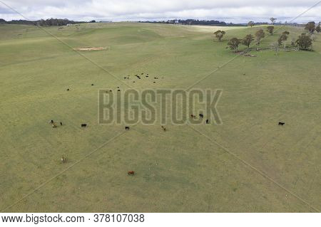Cows In A Grassy Green Field In The Australian Outback