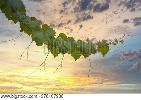 Ornamental Grapevine Branch In Front Of A Vibrant Sunset Background