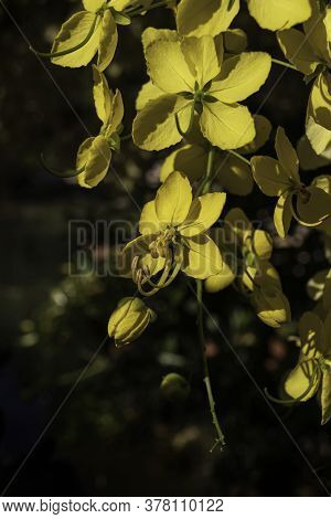 Yellow Flowers Of The Cassia Tree, Golden Rain Close Up In Sunbeams On A Dark Background