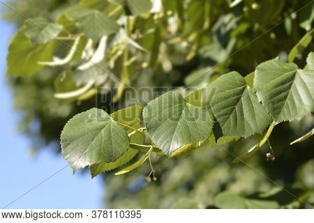 Broad-leaved Lime Branch - Latin Name - Tilia Platyphyllos