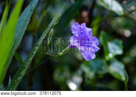 A Side Of Purple Ruellia Tuberosa Flower Blossom In The Spring Garden Background