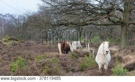 Wild Shetland Horses In A Wildlife Park