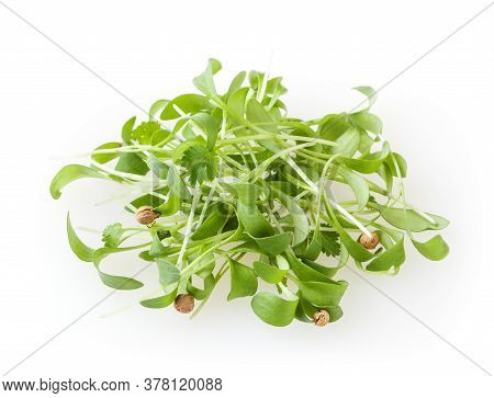 Growing Micro Greens Coriander Sprouts Isolated On White Background