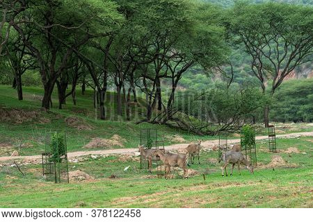 Nilgai Or Blue Bull Or Boselaphus Tragocamelus Grazing Green Grass In Monsoon Season With Scenic Lan
