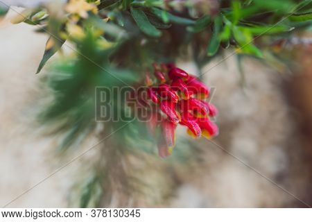 Native Australian Red Grevillea Plant Outdoor In Sunny Backyard Shot At Shallow Depth Of Field