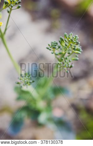 Close-up Of Broccolini Plant Outdoor In Veggie Patch Of A  Sunny Backyard Shot At Shallow Depth Of F