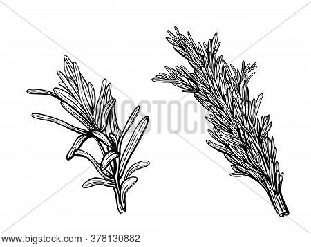 Thyme Isolated. A Branch Of Sweet Thyme
