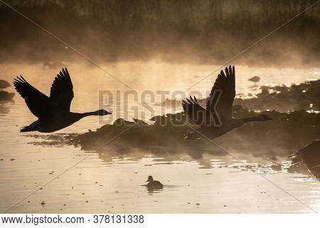 A Picture Of Some Silhouettes Of Canada Geese Flying Across A Lake On A Misty Morning.     Vancouver