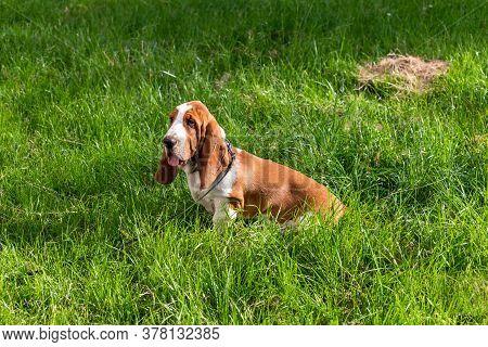 Basset Hound Dog On A Walk In The Summer