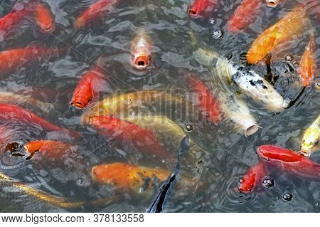 Large Multicolored Carp Floating In A Pond