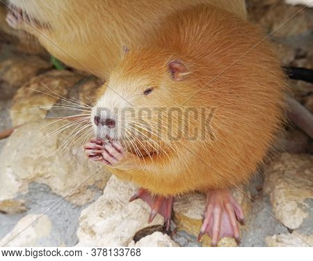 Redhead Coypu Or River Rat Or Nutria Eating A Ccookies