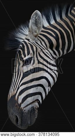 Head Of A Beautiful African Zebra On Black Background