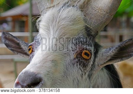 The Portrait Of A Goat In Zoo