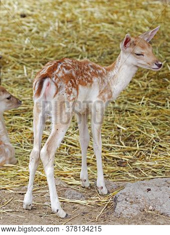The European Fallows Deer In A Zoo