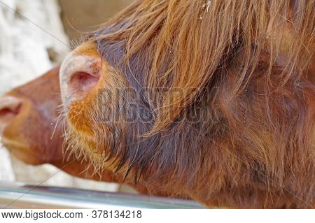 Nose Of Scotish Highland Cattle In Zoo