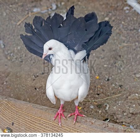The Big Purebred Decorative Beautiful Pigeon In Zoo
