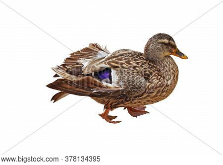 The Big Beautiful Duck On White Background