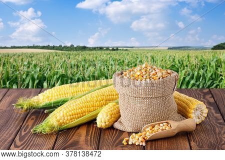 Fresh Corn Cobs And Dry Seeds In Bag On Wooden Table With Green Maize Field On The Background. Agric