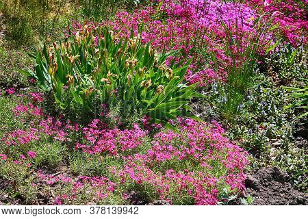 Withered Iris Flowers Surrounded By Pink Flowers On A Flowerbed