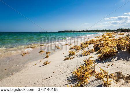 Seaweed On The Tropical Xcacel Beach On The Caribbean Sea Coast. Beautiful Tropical Landscape, Quint