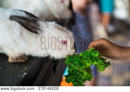 White Rabbit Eating Out Of Children Hands. Props A Magician For A Performance At The Festival For Ch