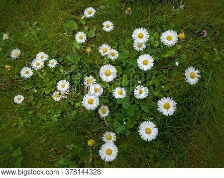 Cluster Of Common Daisies Or Lawn Daisies Or English Daisies In Garden During Day. White Wild Flower