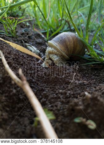 A Large Slimy Wild Snail Hidden In Its Cottage In A Field Among The Stalks Of Grass During The Day.