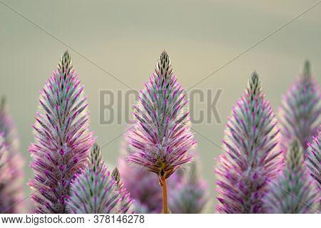 Australian Native Backlit Purple Ptilotus Exaltatus Joey Wildflowers, Family Amaranthaceae. Called M