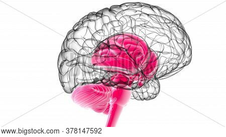 Human Brain Inner Parts Anatomy For Medical Concept 3D Rendering