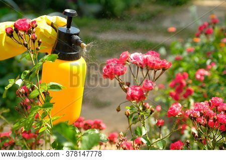 Gardener With Protective Gloves Spraying A Blooming Flowers. Using Garden Spray Bottle With Pesticid