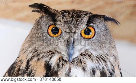 Eurasian Eagle Owl - Bubo Bubo. Close Up.