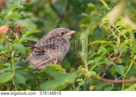 A Red-backed Shrike, Lanius Collurio, Sits On A Branch Of A Bush. Young.
