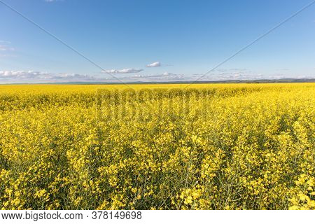 Cultivated Agricultural Field. Oilseed Rapeseed Yellow Flowers