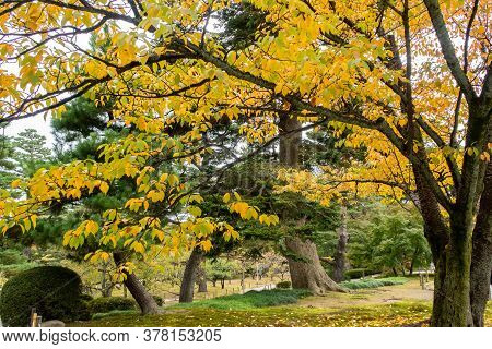 Golden Yellow Autumn Leaves And Trees In Kenroku-en Park In Kanazawa, Japan, November.