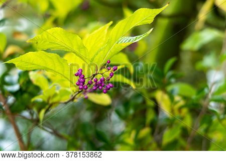 Purple Callicarpa Japonica (japanese Beautyberry, East Asian Beautyberry) Leaves And Fruits In Kenro