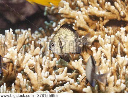 Coral Grouper In A Deer Antler Coral