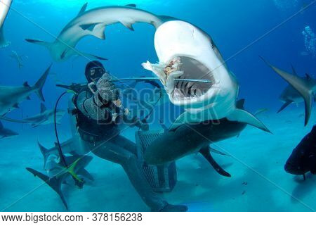 NASSAU, BAHAMAS - CIRCA JUNE 2019: Shark feed. Scuba diver feeding Caribbean Reef Sharks for tourist industry