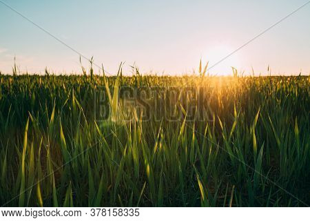 Close Up Young Wheat Shoots In Sunset Sunrise Sunlight. Countryside Rural Field With Young Wheat Spr