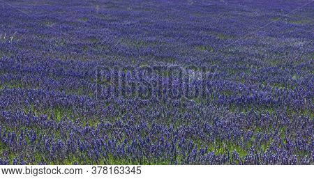 Lavender flowers blooming on field. Floral background from France.