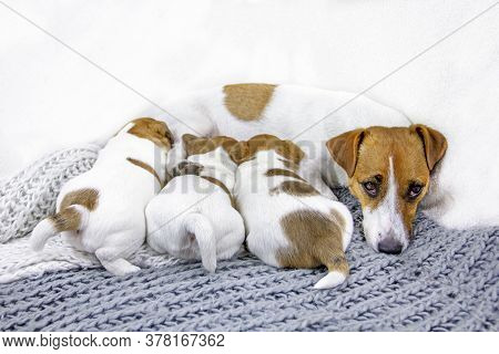 Feeding Dog Jack Russell Terrier Sleeps While Feeding, His Puppies On A Knitted Blanket
