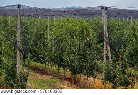 Anti Hail Systems With Concrete Poles Apple Plantation.
