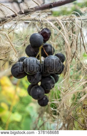 A Bunch Of Red Grapes Hanging From A Vine Branch Closeup. Close Up View Of Bunch Red Ripe Grapes Han