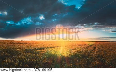 Sunshine During Sunset Above Rural Landscape With Blooming Canola Colza Flowers. Sun Shining In Dram