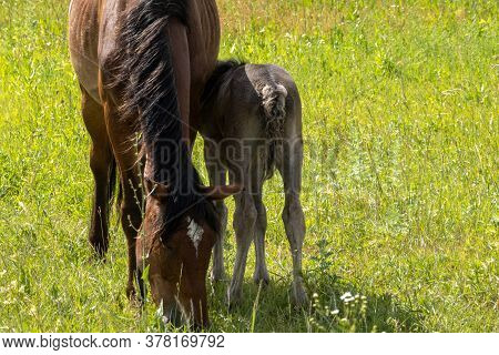 Horse And Foal Grazing In A Meadow. Selective Focus.