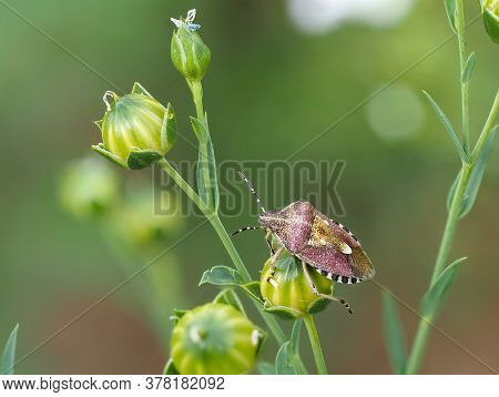 Close-up Of Hairy Shieldbug, Dolycoris Baccarum, On A Green Plant