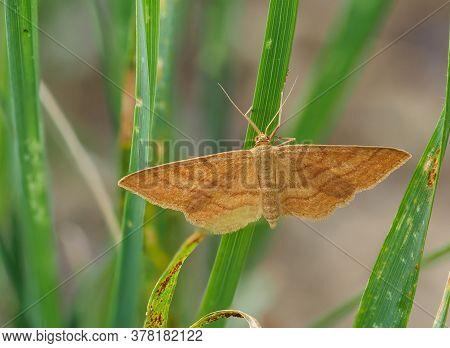 Bright Wave Moth, Idaea Ochrata, On A Blade Of Grass