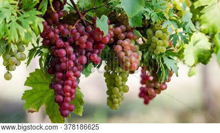 Red Seedless Grapes on tree. Fruit in nature
